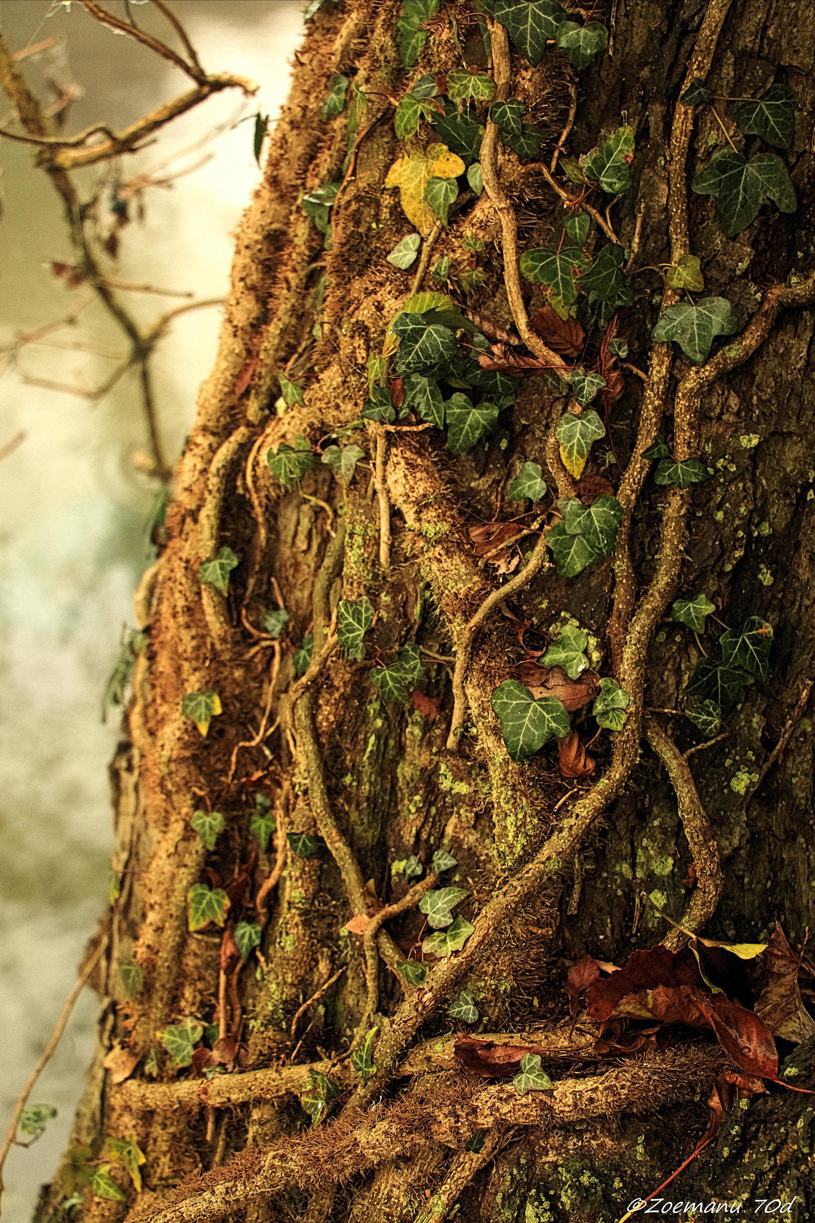 Vs ivy tree!...