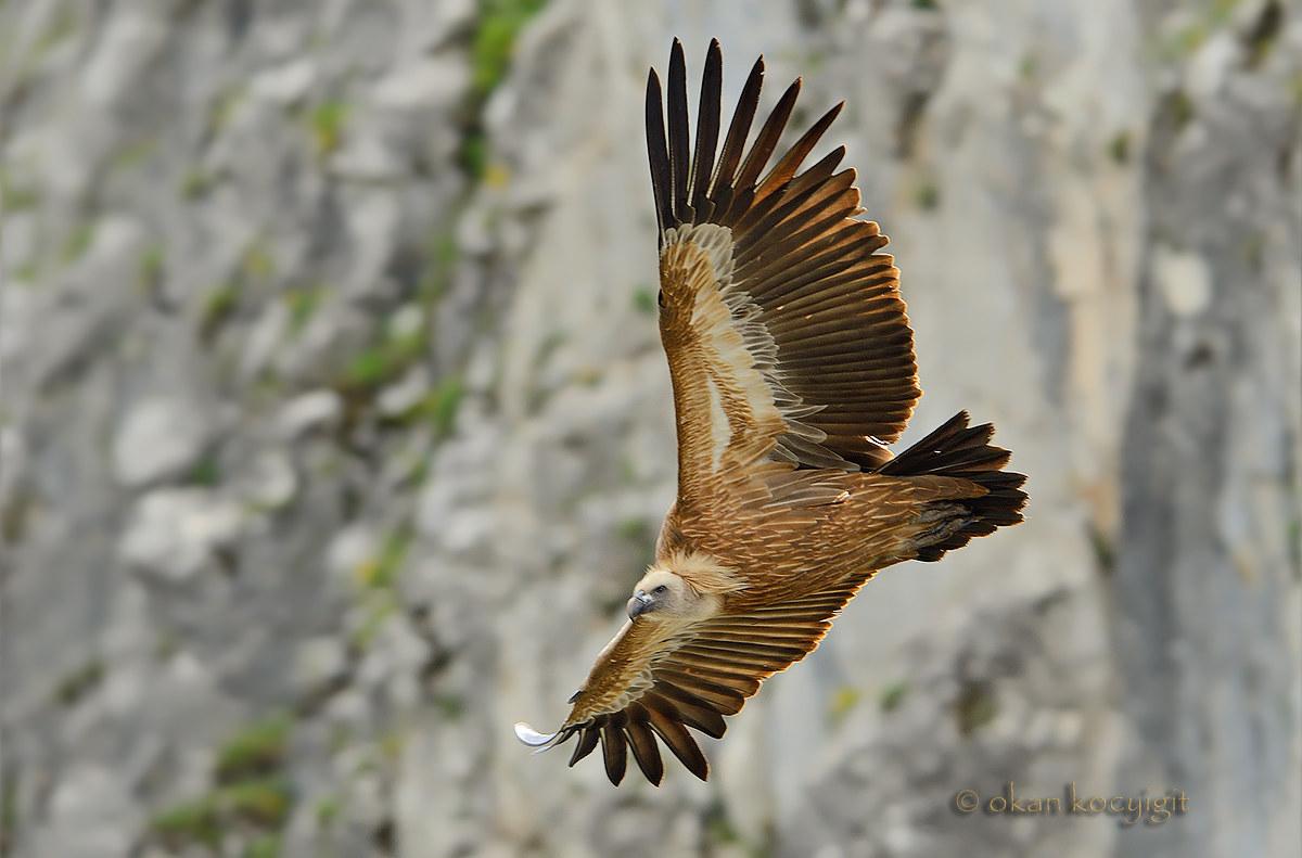 Griffon vulture...
