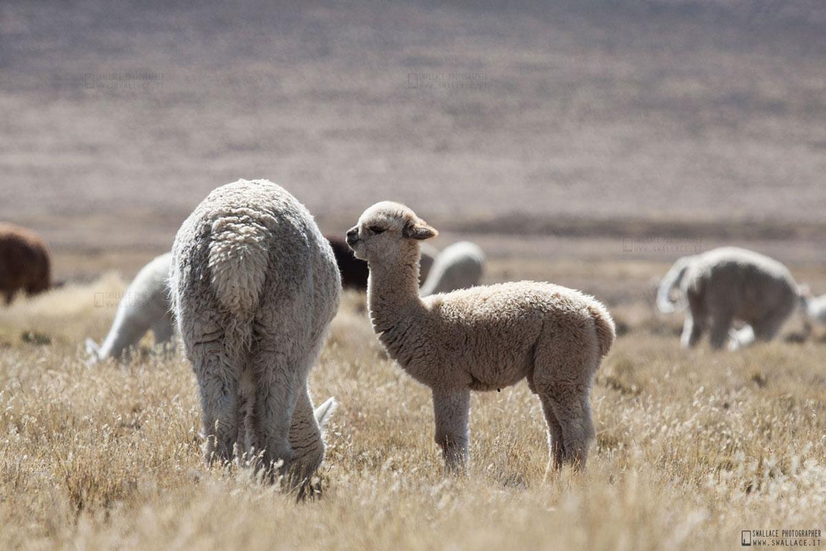 Alpaca - Peru'...