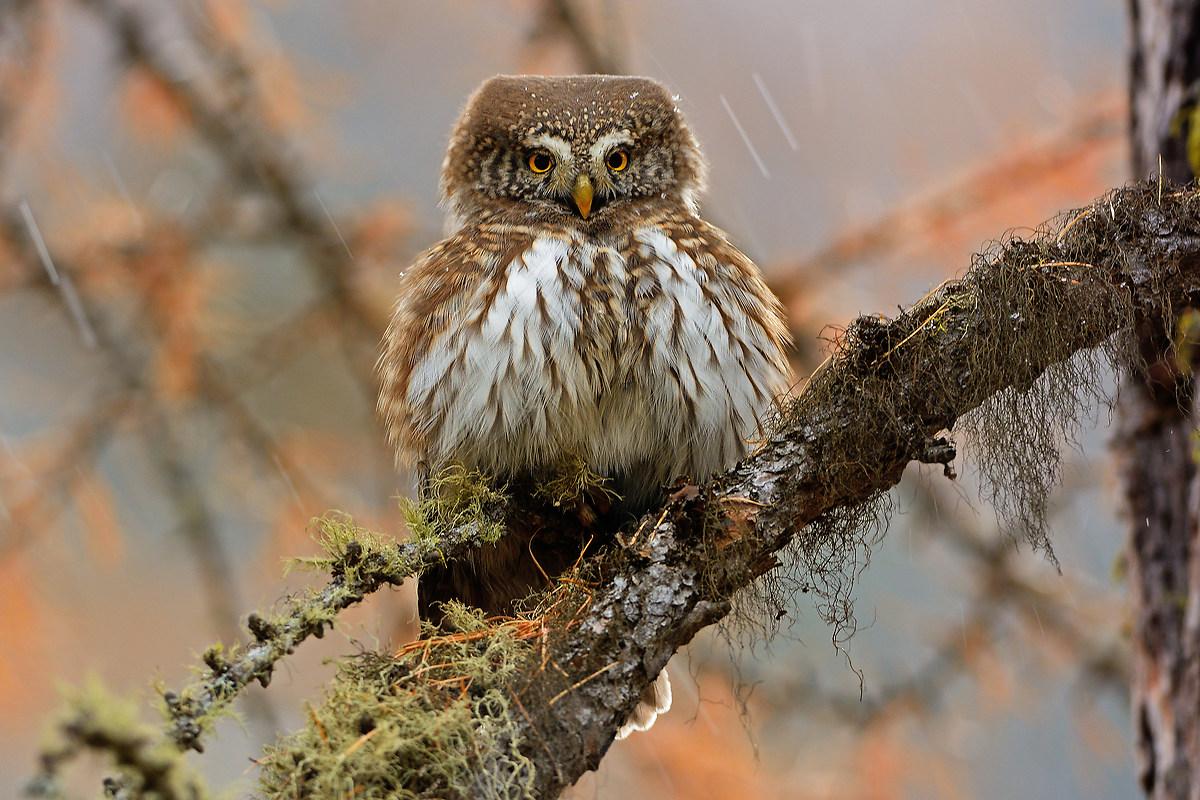 Pygmy Owl...