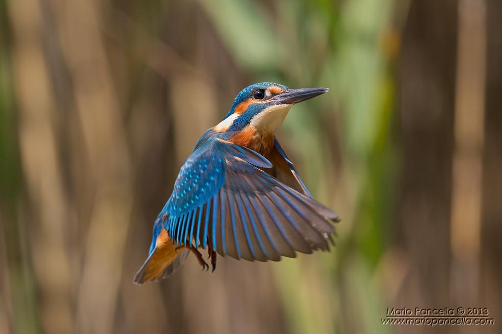 Kingfisher in holy spirit...
