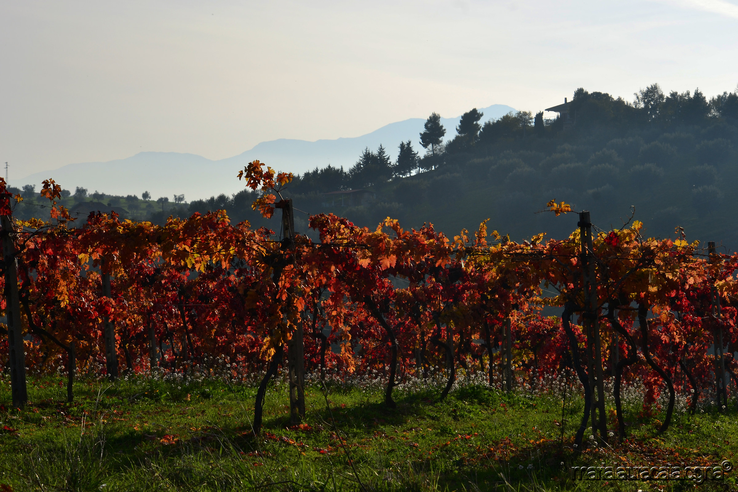 Vineyards in the province of Teramo...