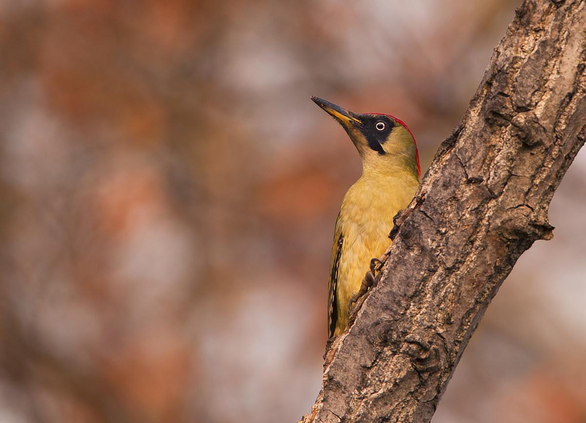green woodpecker ......