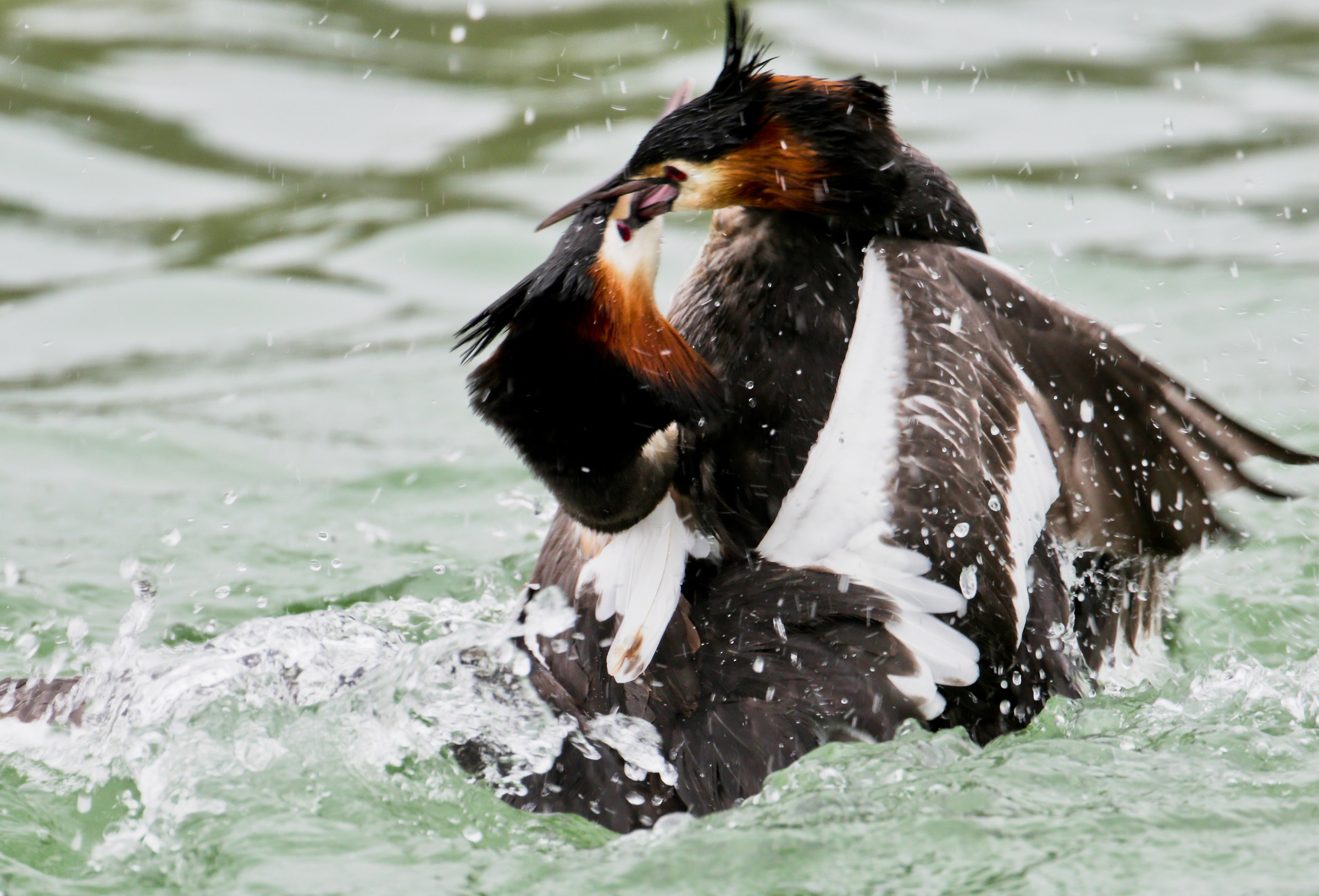 Fight between masci of great crested grebe...
