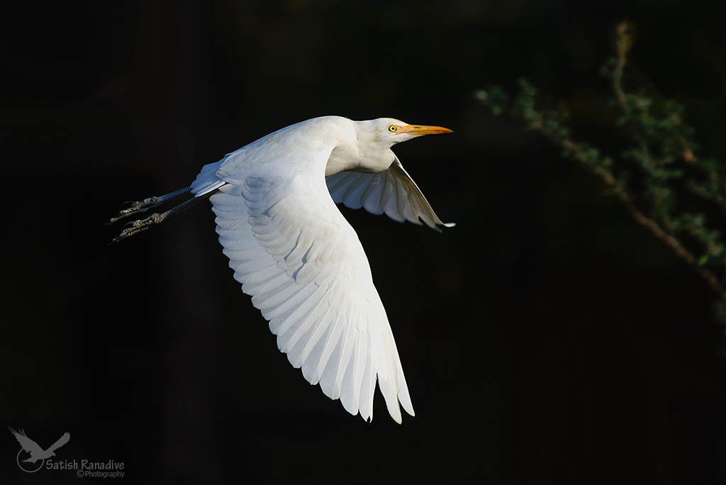 Egret in flight with dark background....