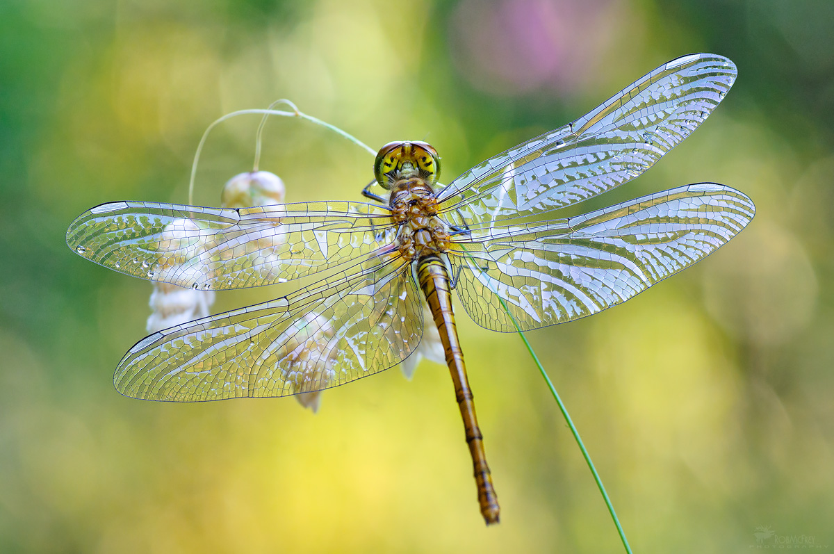 The first dragonfly ......