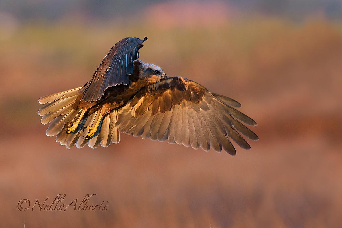 Marsh Harrier dawn...