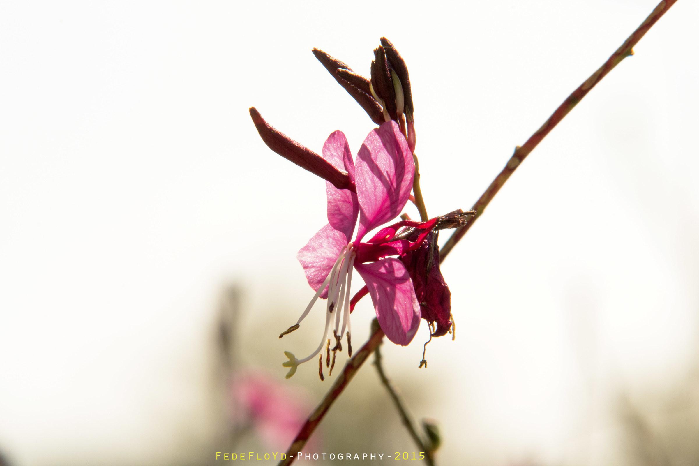 Oenothera lindheimeri...