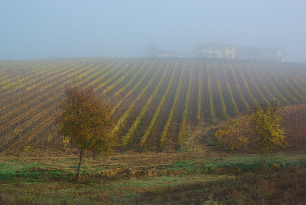 Fog in the Vineyard...