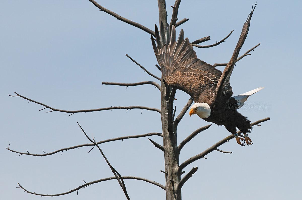 Bald Eagle (American Eagle)...