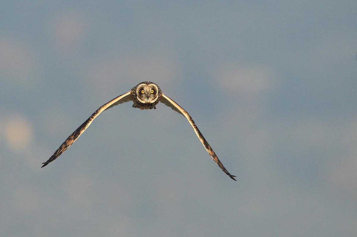 Short-eared Owl...