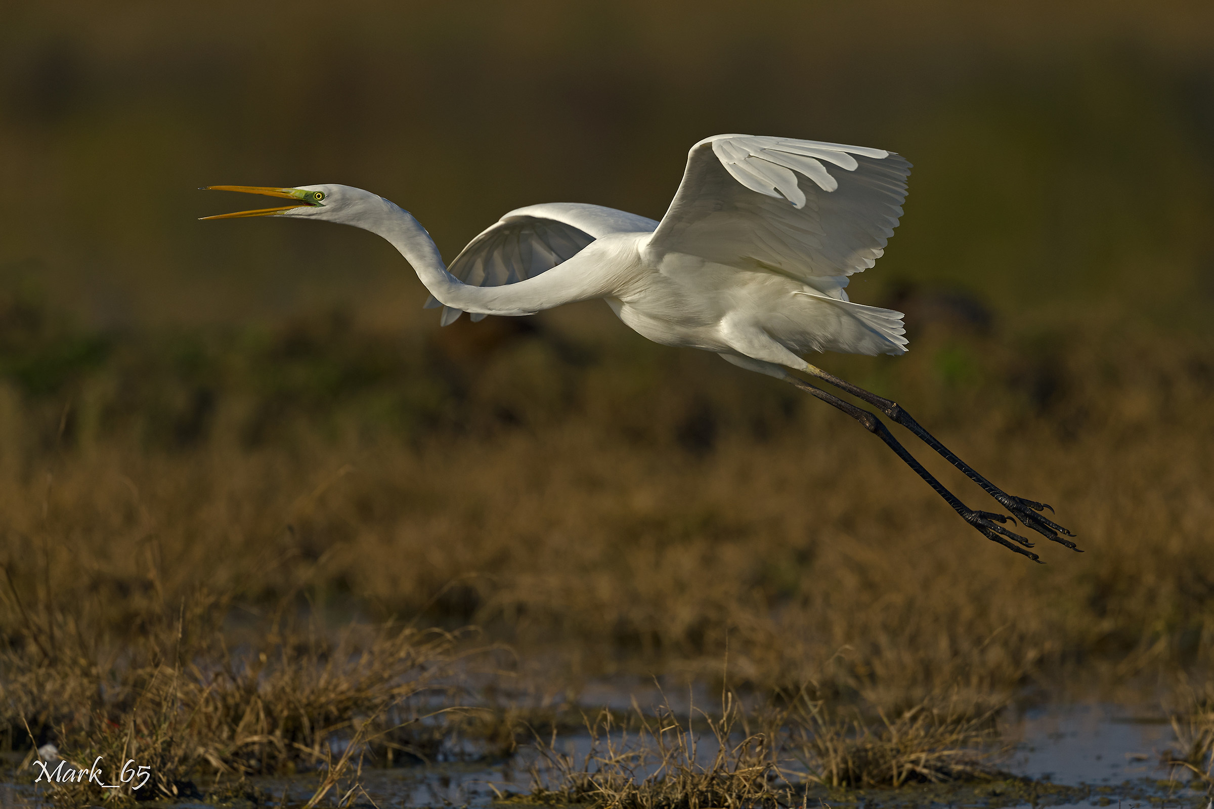 Great Egret...