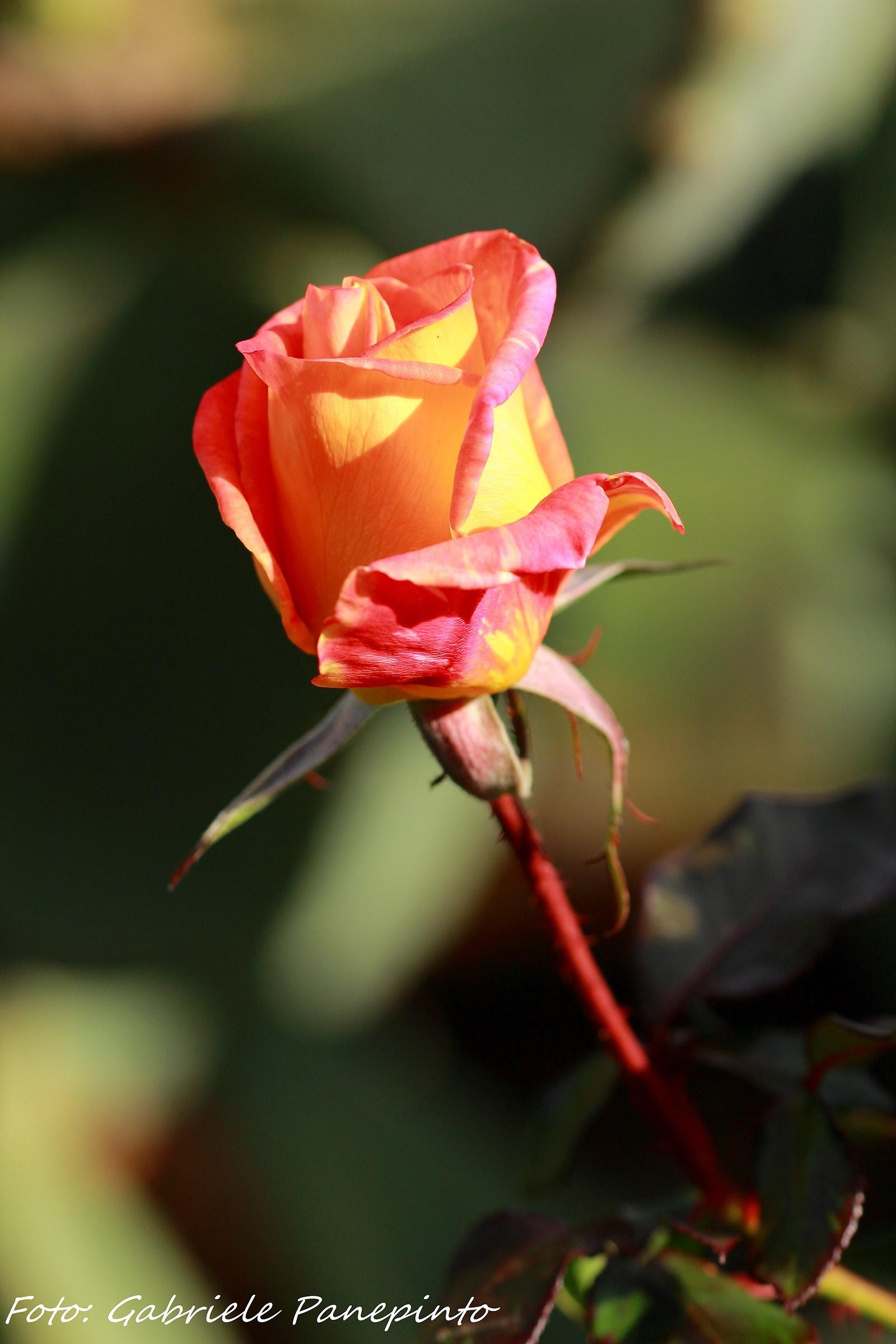 Rosa December...