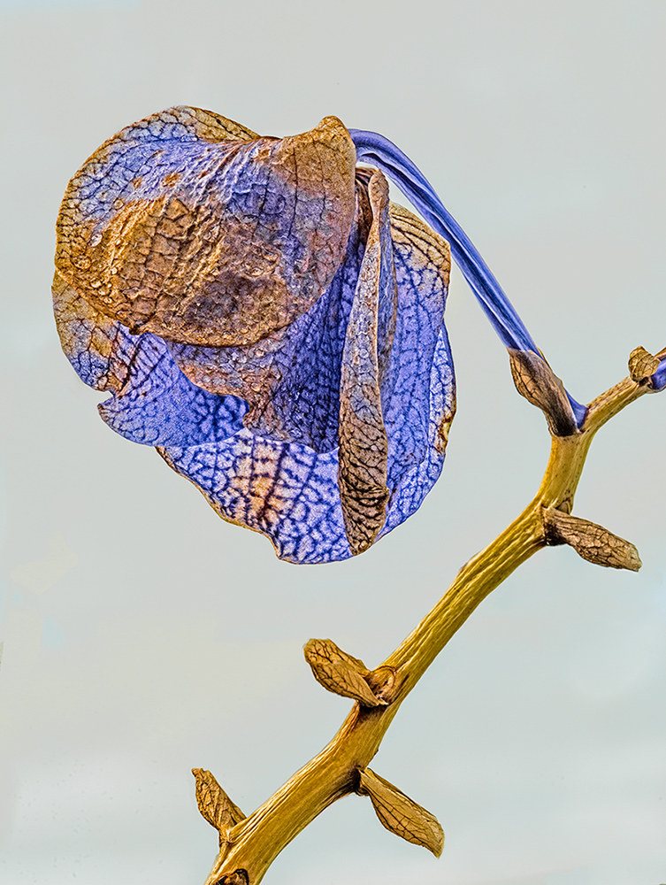 Orchid in old age...