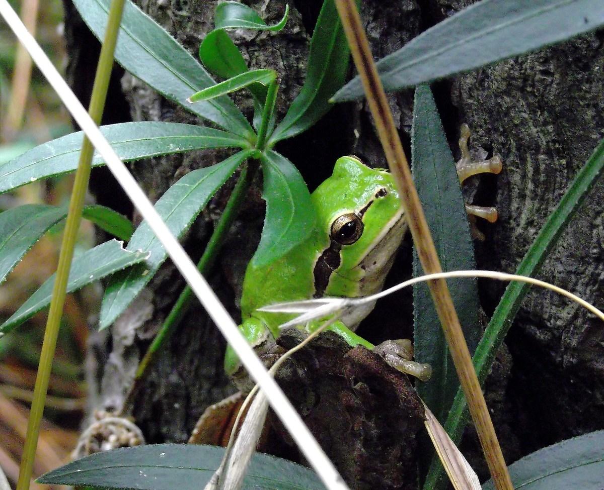 Green Frog...