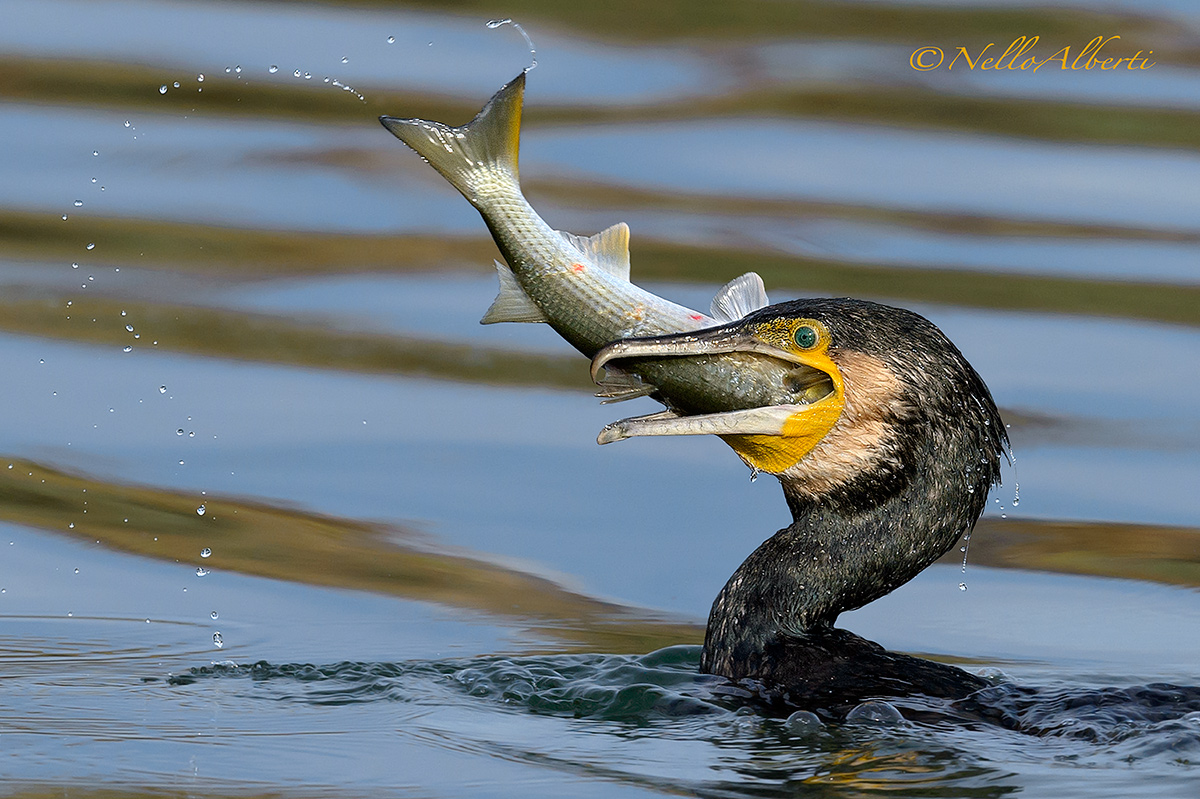 cormorants and gray mullet!...