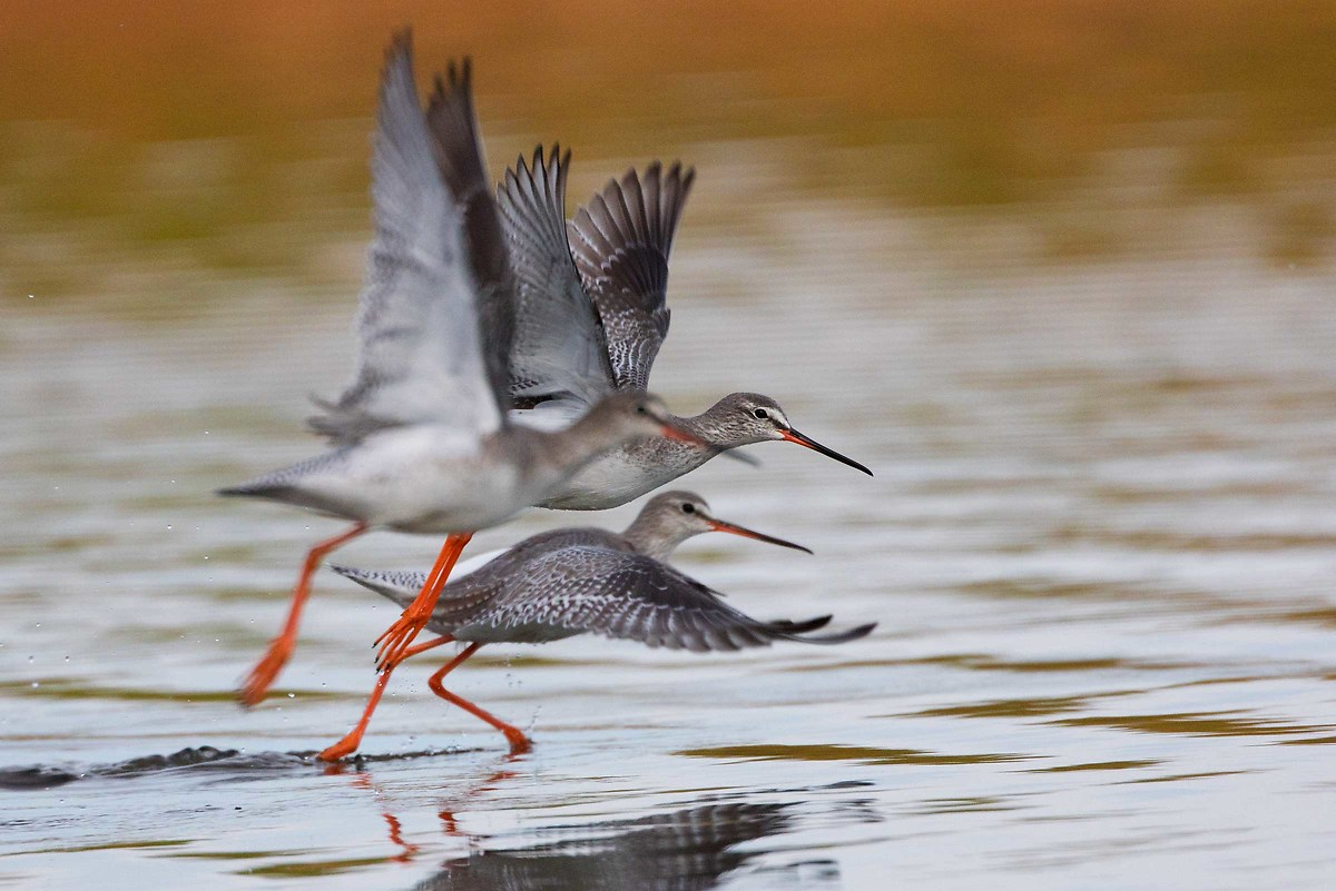 Spotted Redshank...