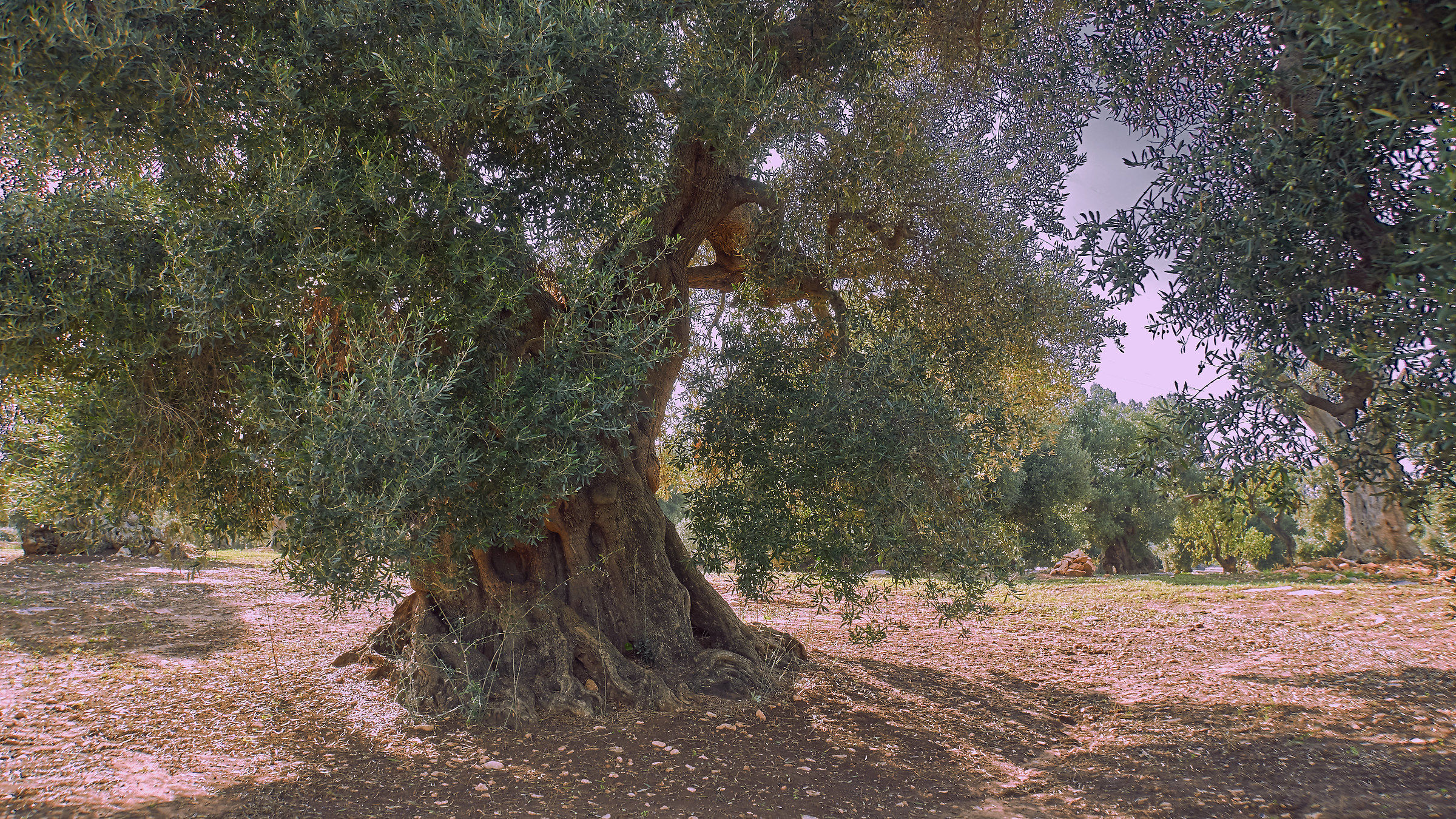 The old olive tree...