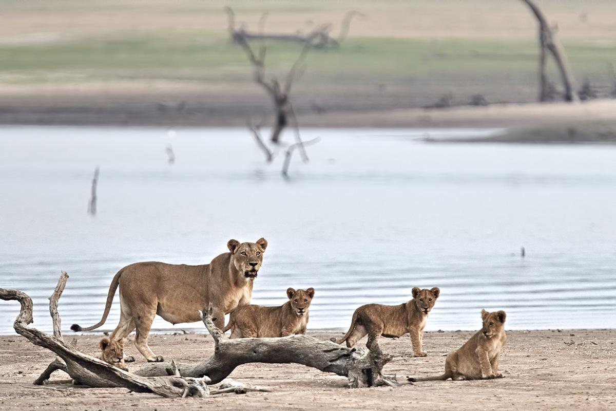family of lions...