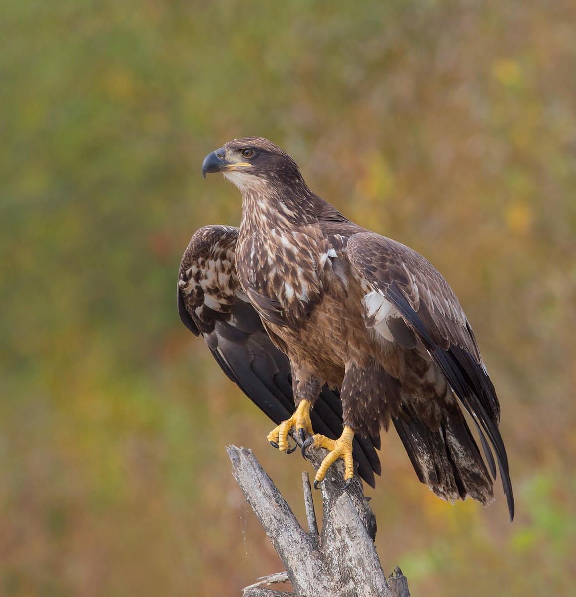 Bald Eagle - juvenille , image taken in Ontario, Canada...