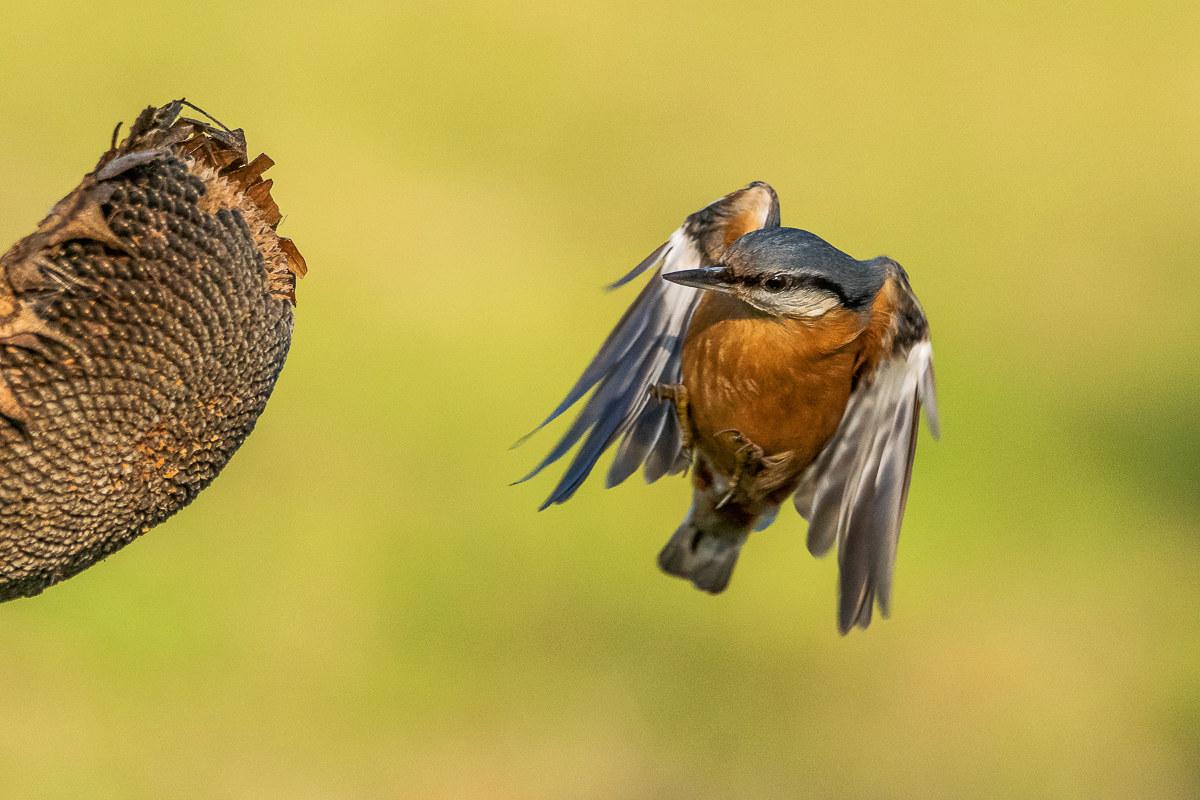 nuthatch in flight...