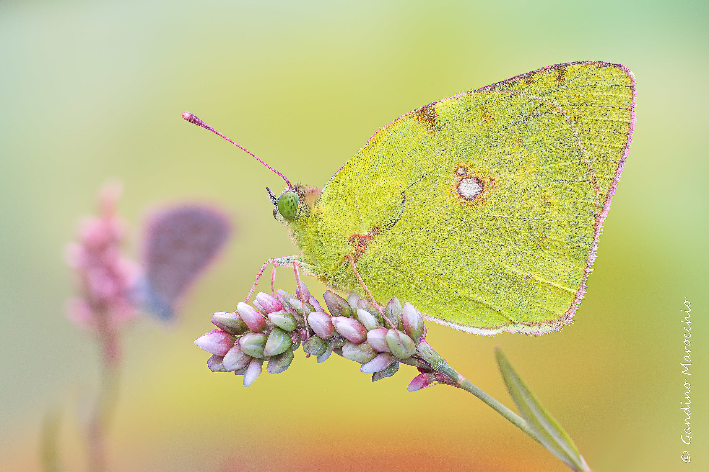 Plans alternating-colias / licenide...