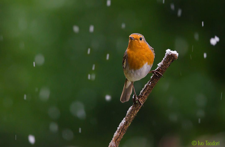 Robin Christmas....