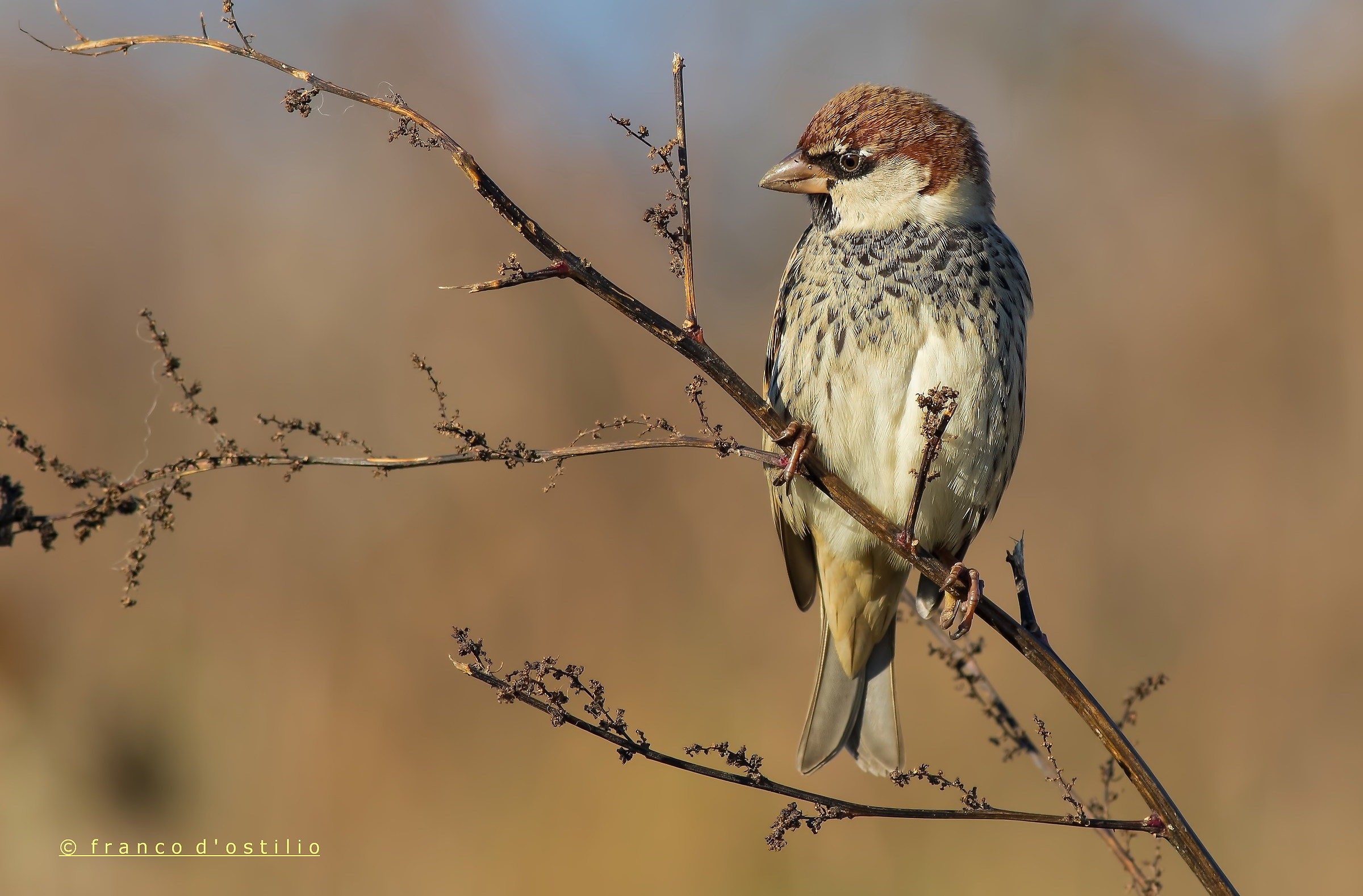 Sparrow (Abruzzo)...