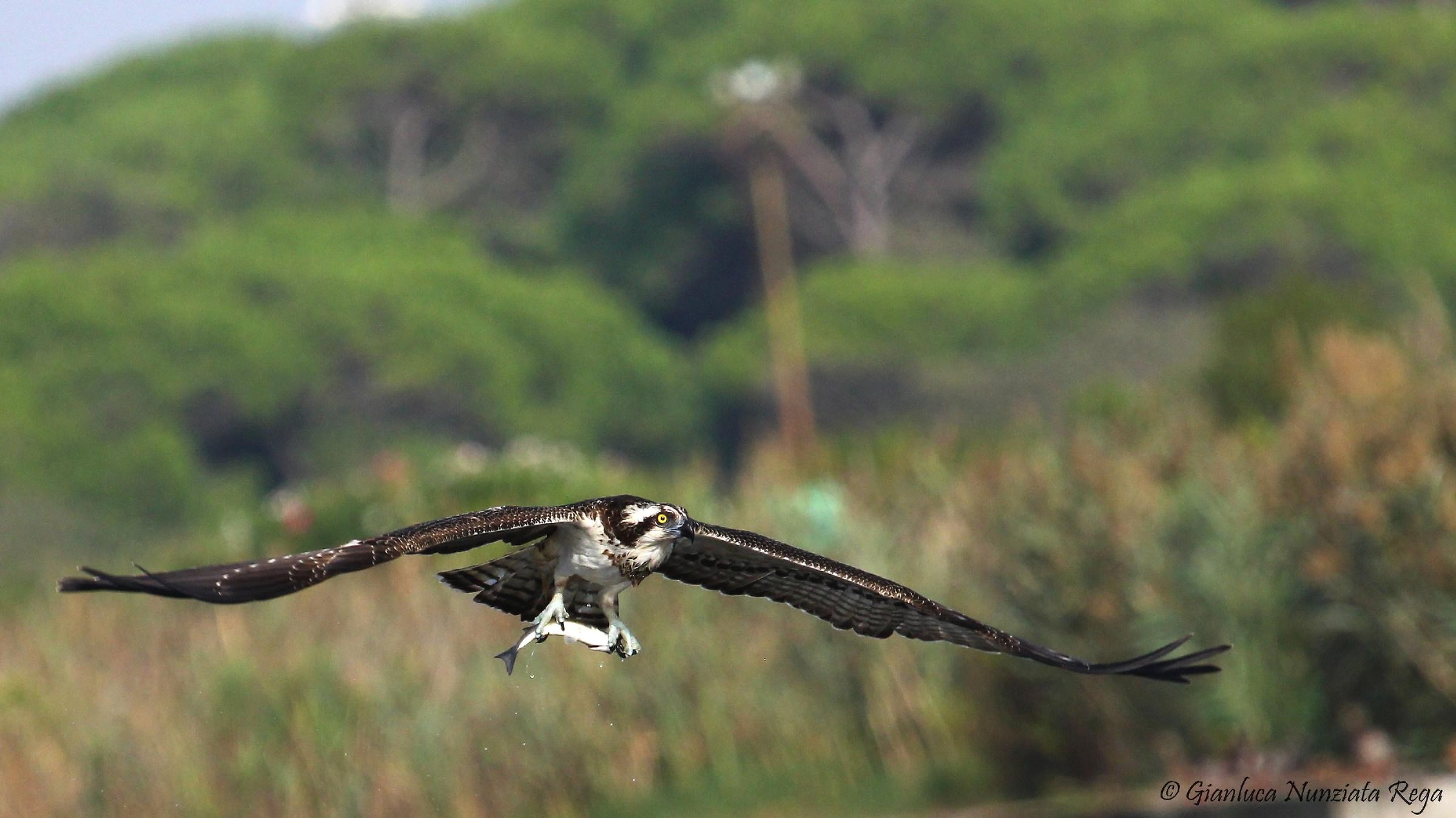 Falco pescatore con cefalo...