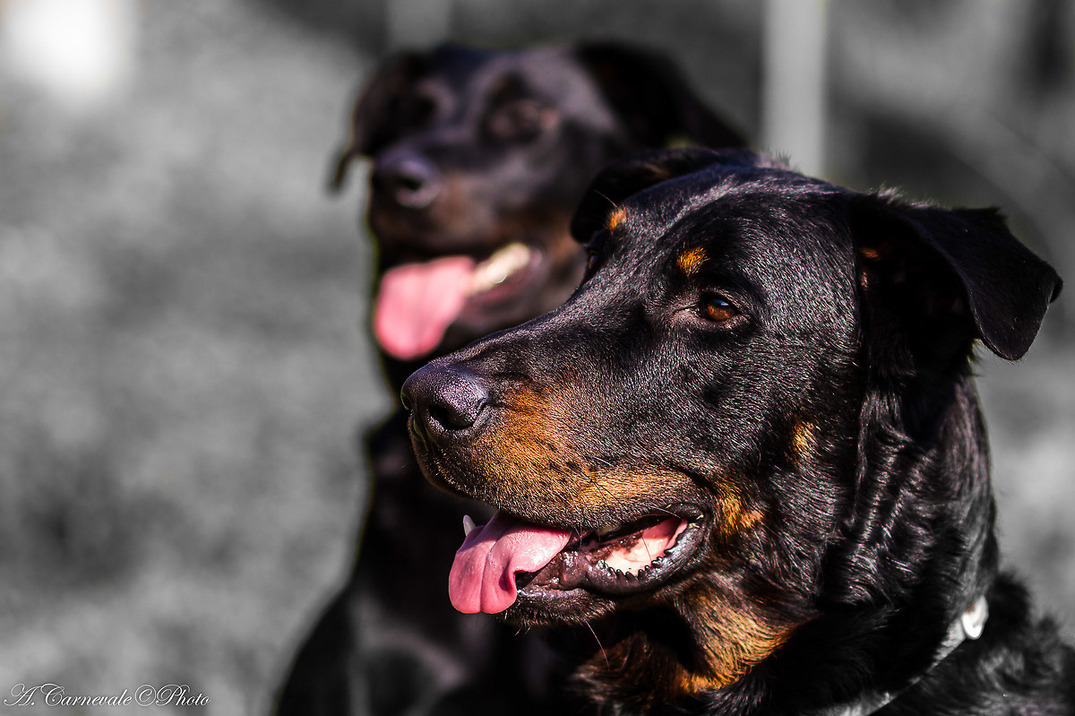Sheepdog Beauce also called Beauceron...