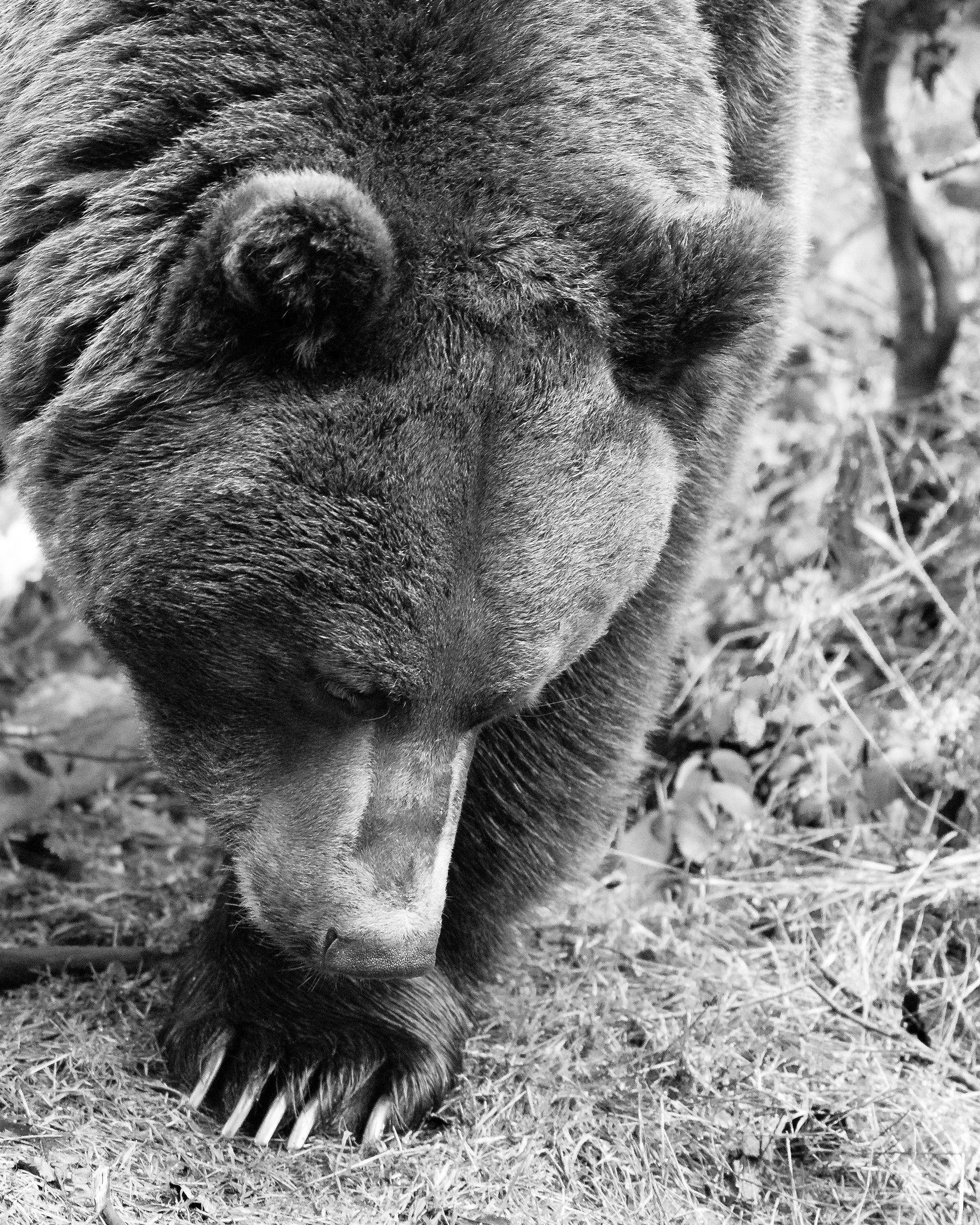 Ursus Arctos...