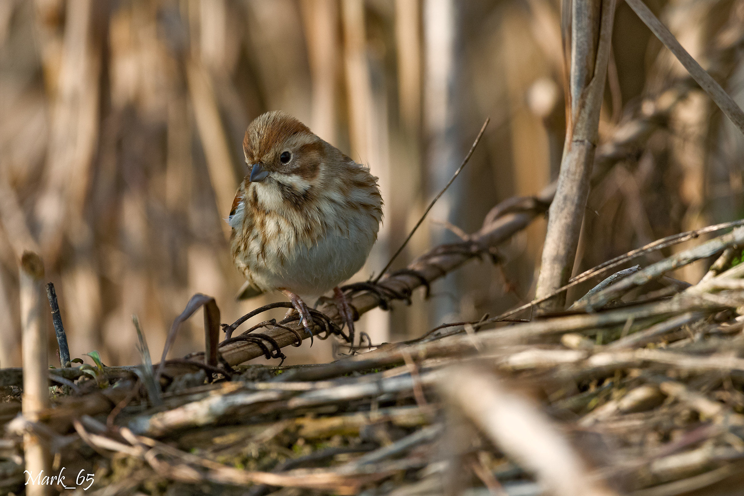 Reed Bunting...