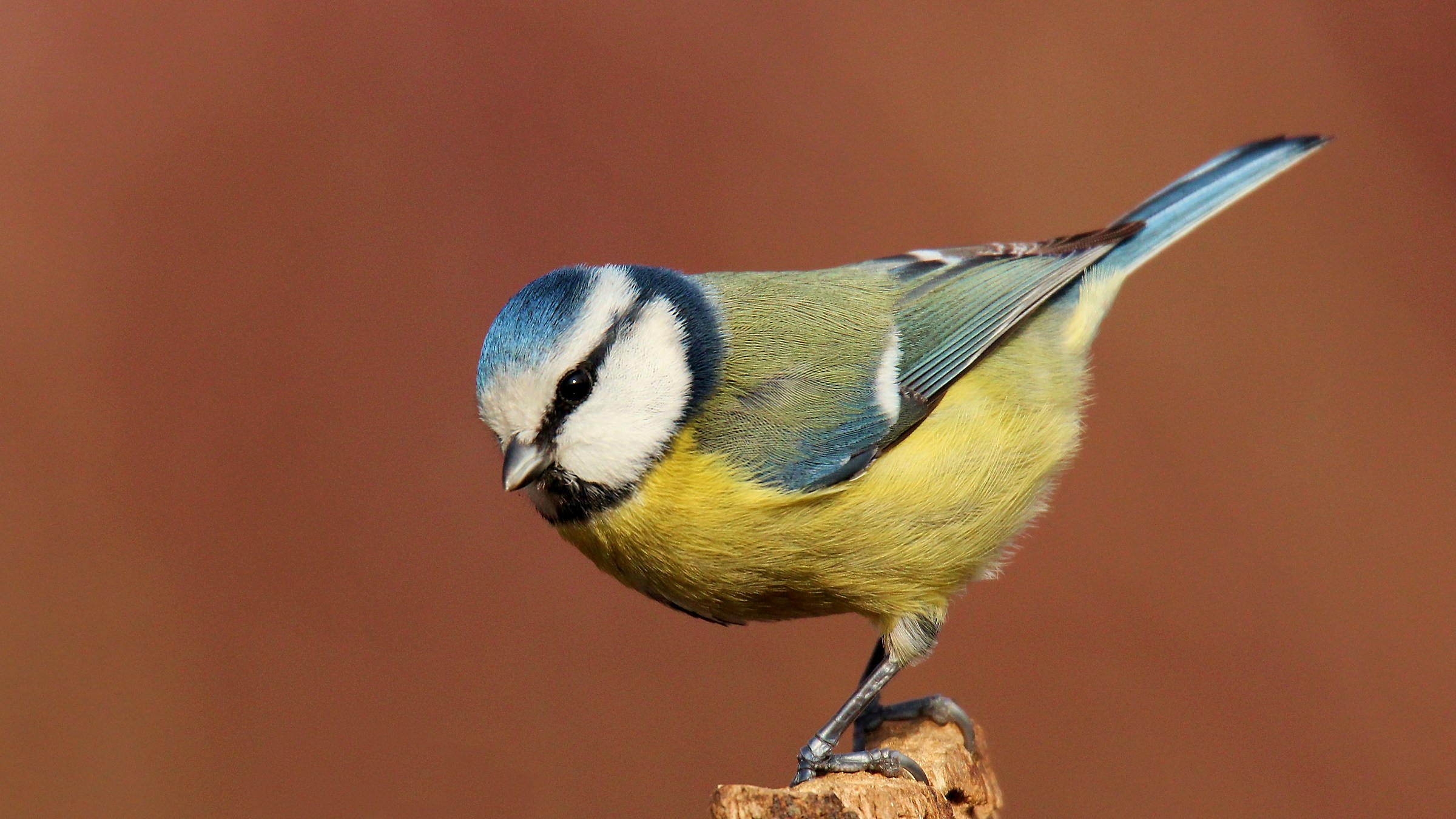 The bow of the Blue Tit...