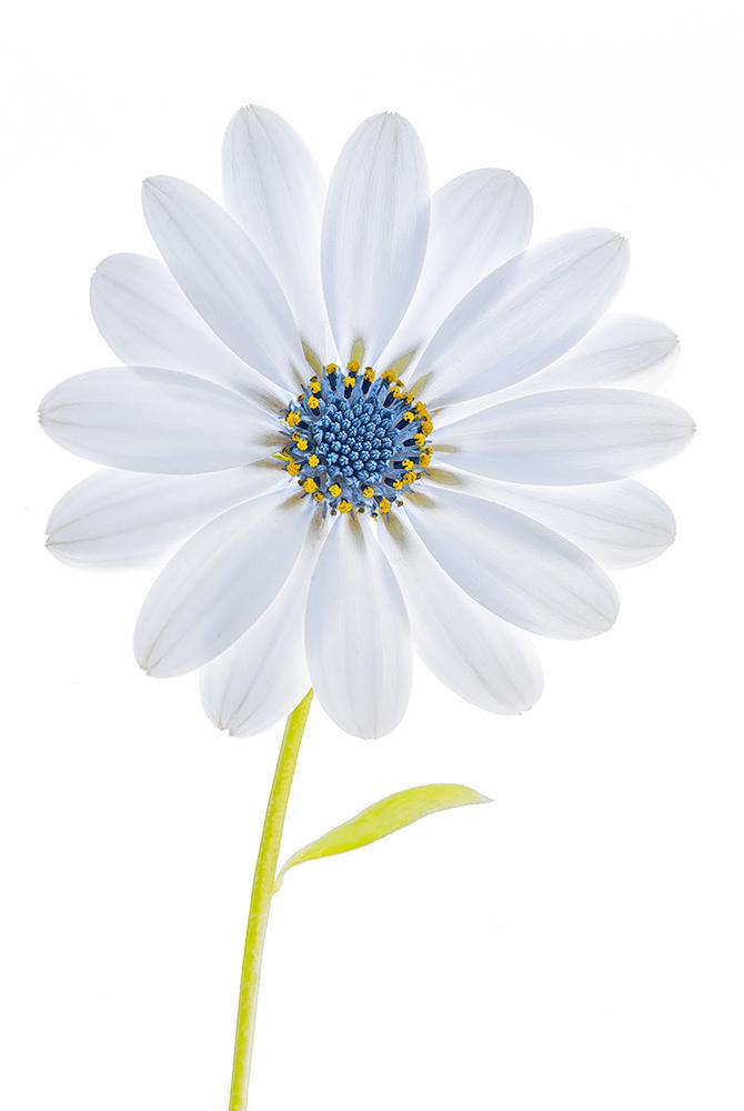 A portrait of my favorite flower...