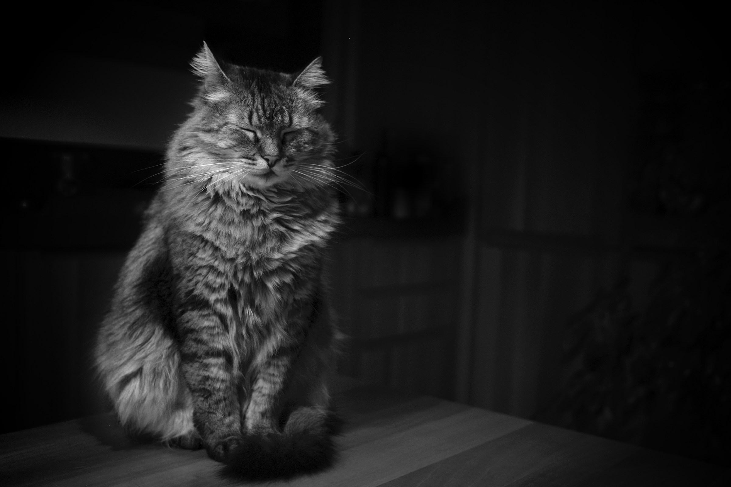 Ray (Maine Coon)...