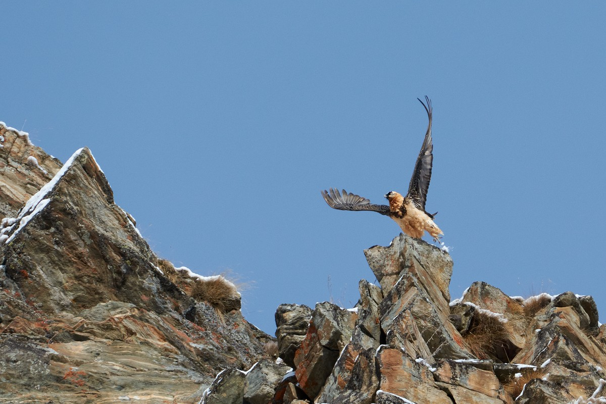 The detachment of the bearded vulture...