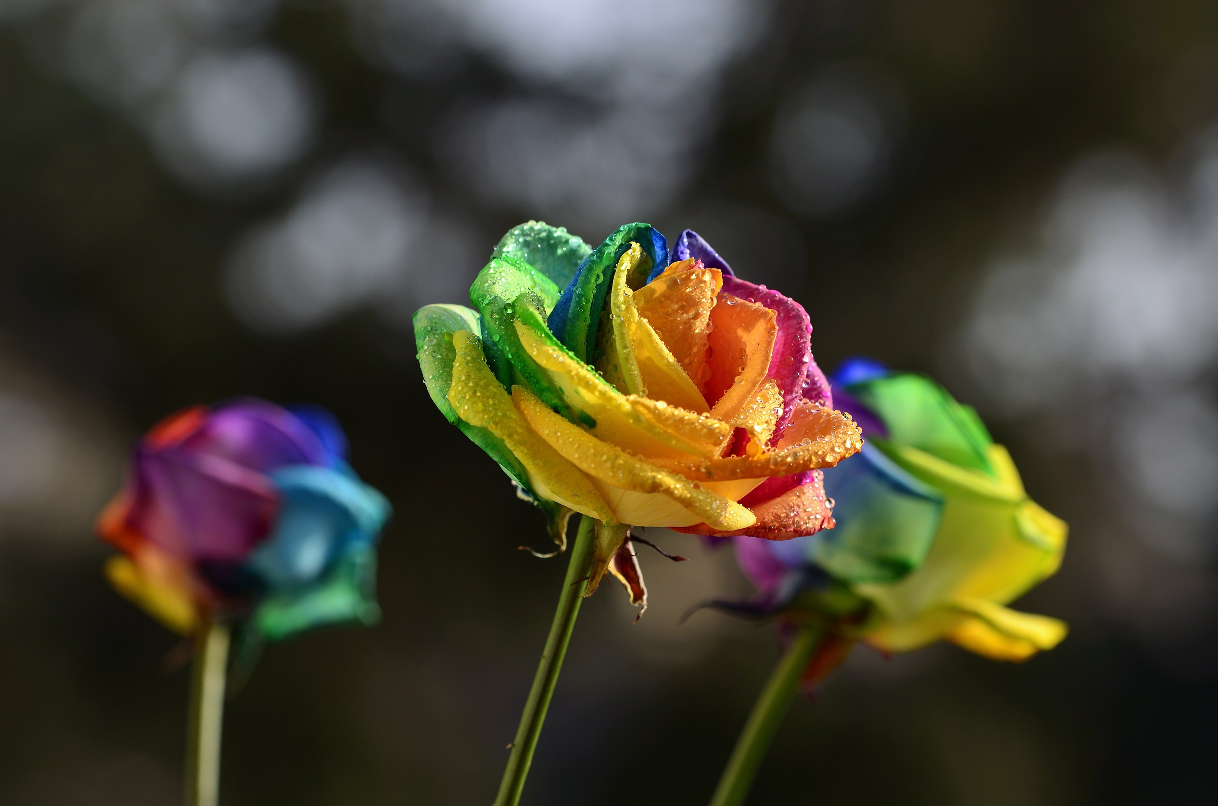 Rose rainbow....