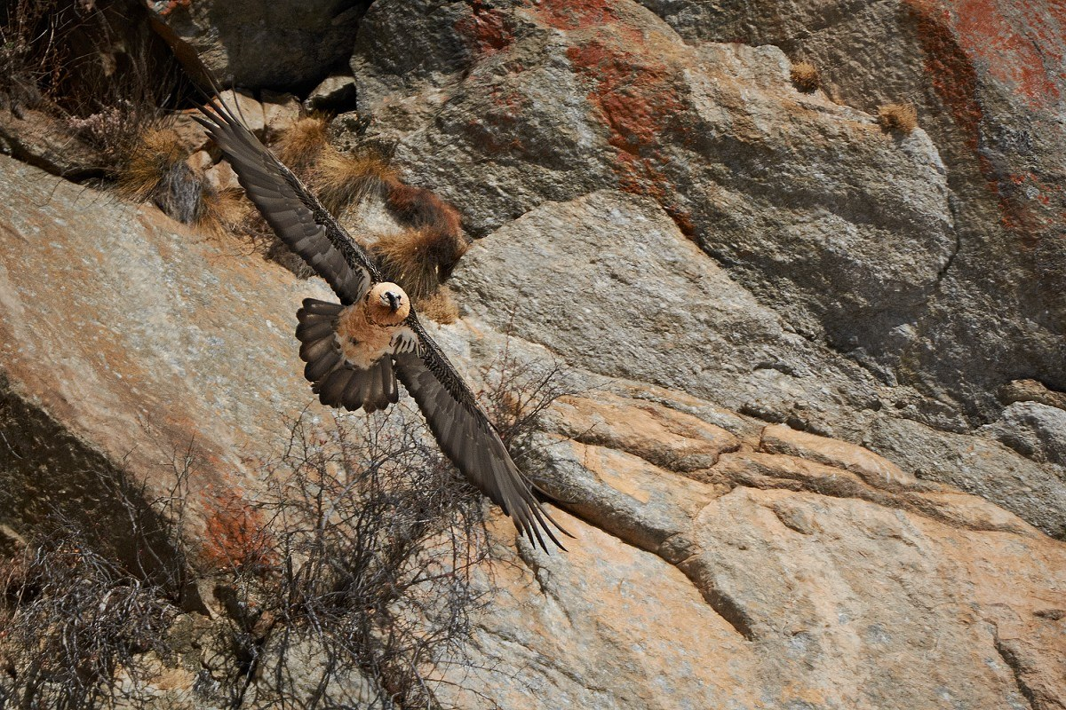 Bearded vulture in turn...