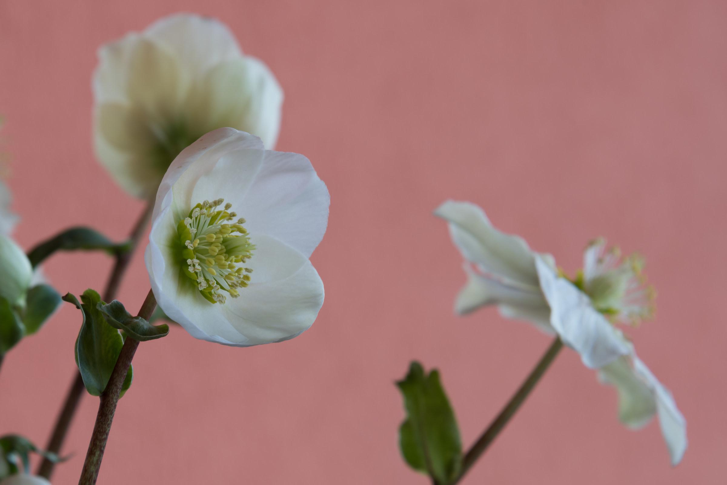 Il bianco fiore...