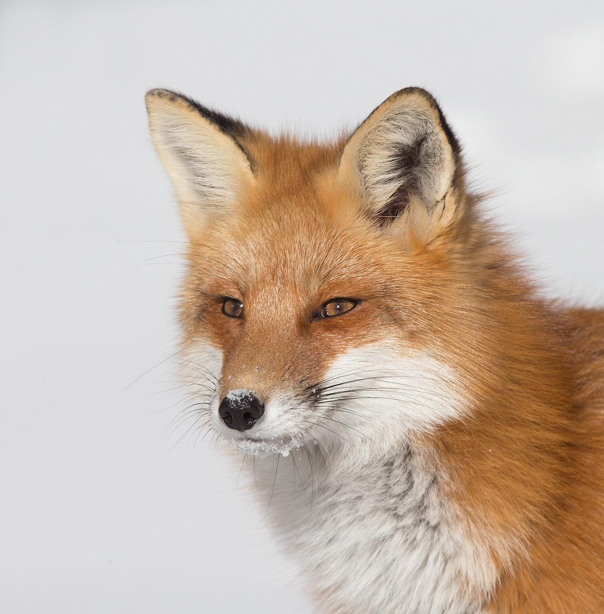 Red Fox - Algonquin Park , Ontario , Canada...