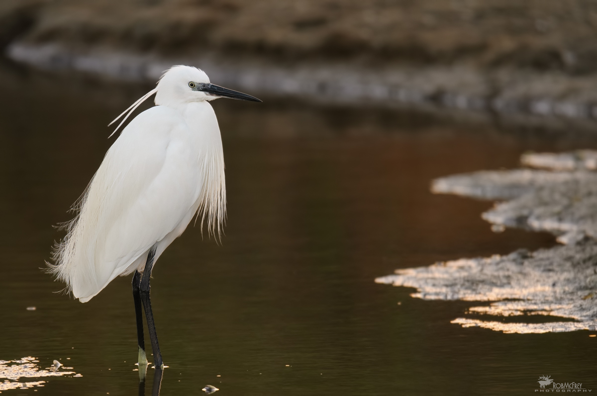 Egret after sunset...