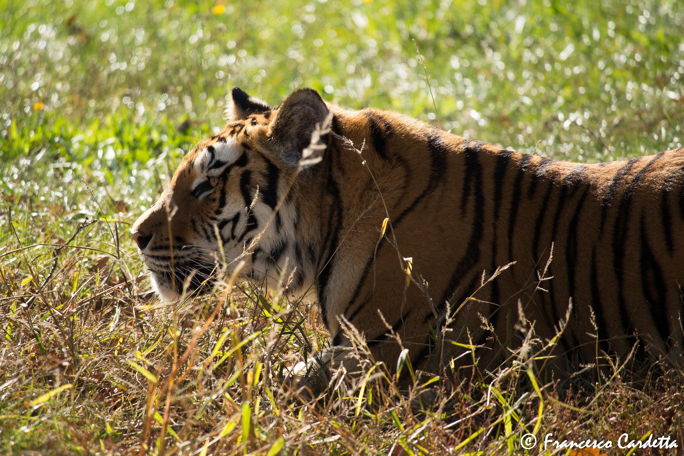 Amur tiger...