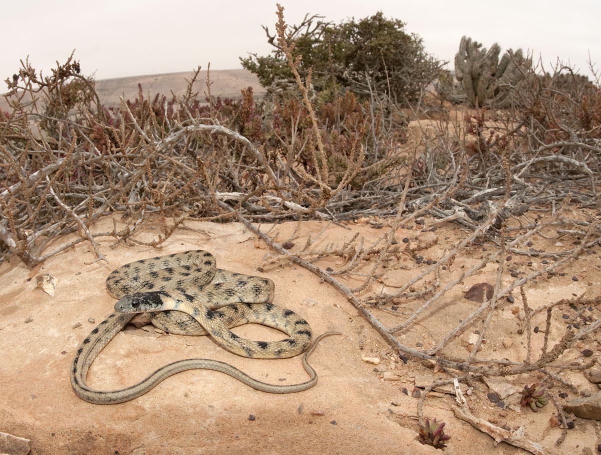 Hemorrhois algirus - Morocco...