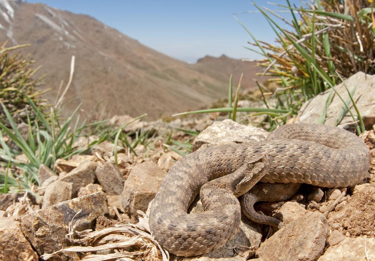 Vipera monticola - Morocco...