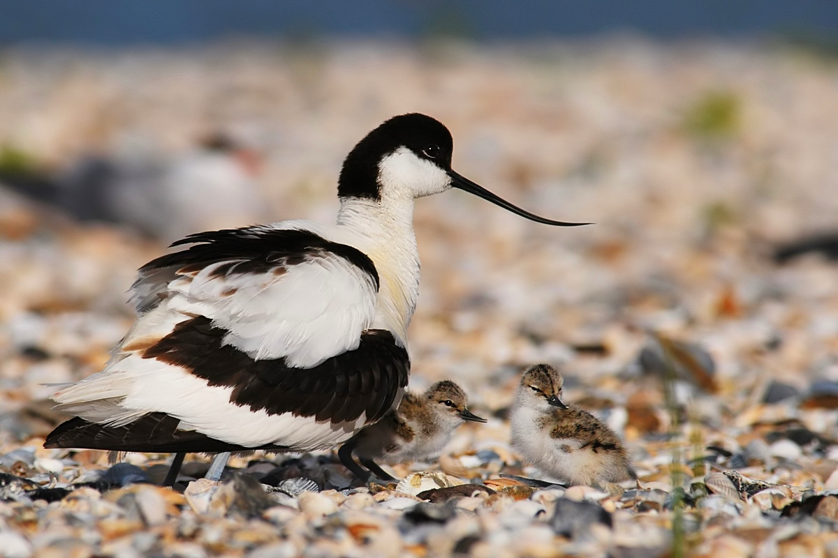 Avocet with chicks....