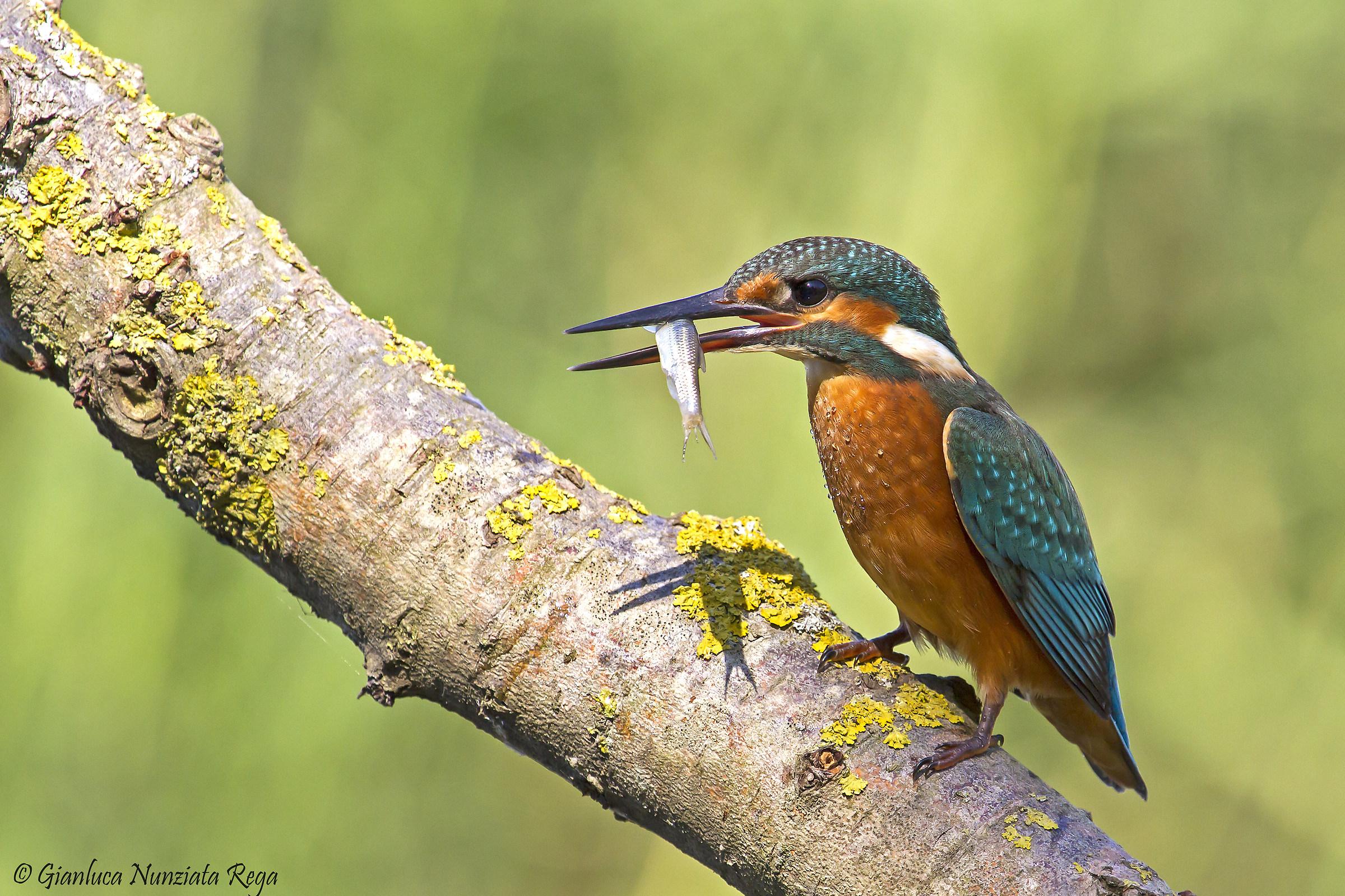 Martin pescatore femmina con spuntino...