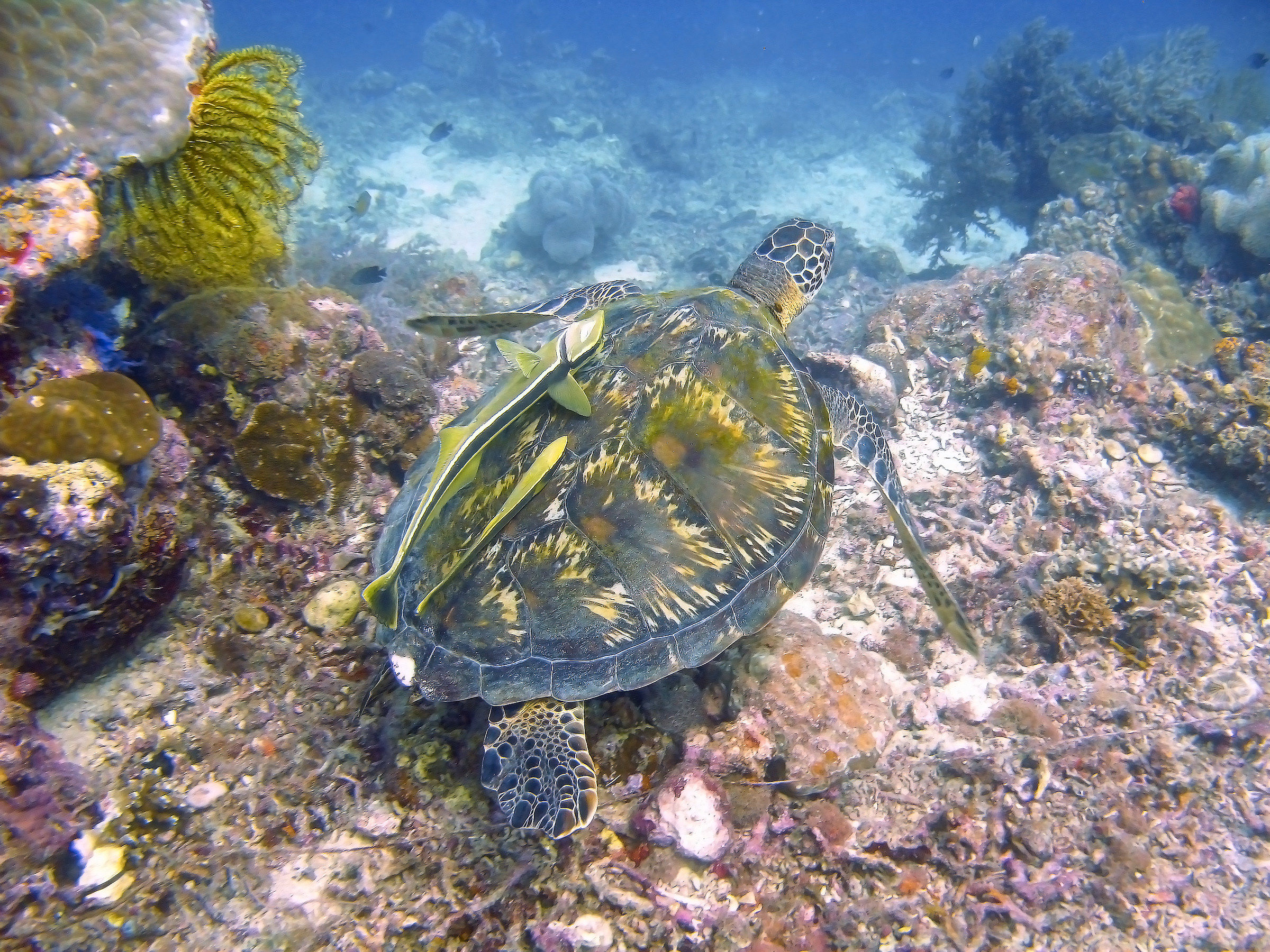 Sea turtle in Cebu (Philippines)...