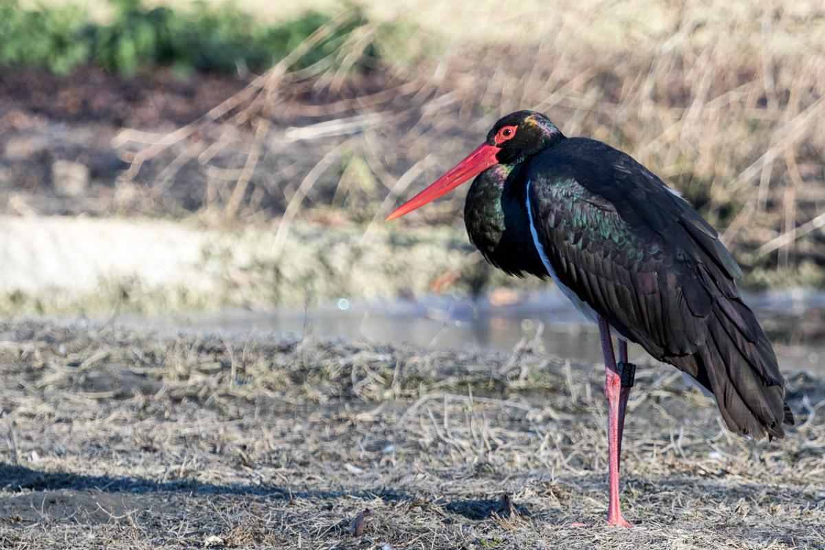 Black Stork...