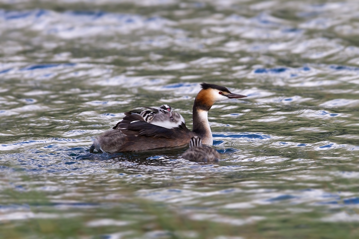 Great Crested Grebe...