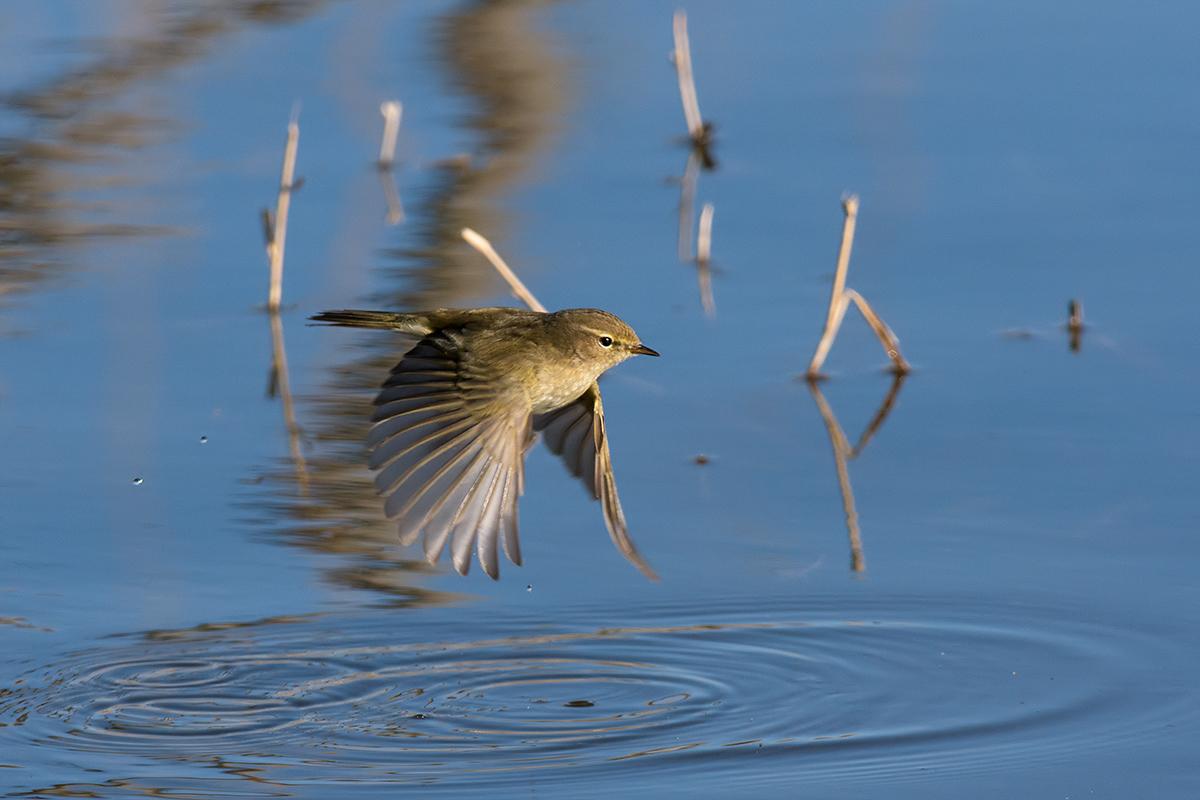 Warbler in flight...